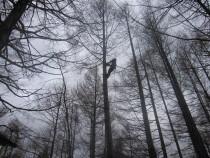 施工中  特殊伐採 : ツリークライミングにより高木の上部より徐々に伐採していく技術