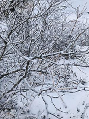 枝が霜で真っ白